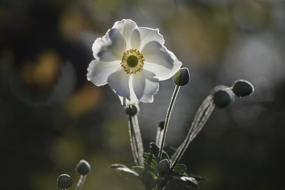 white flowering Anemone x hybrida 'Honorine Jobert'