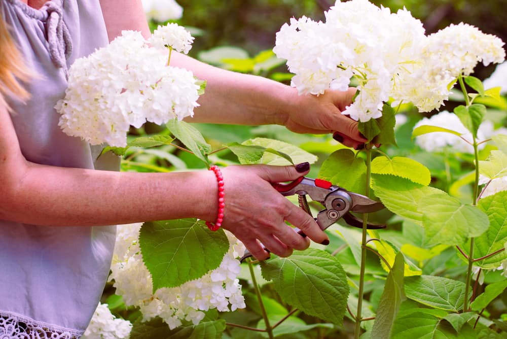 woman cutting a bouquet of white hydrangea flowers from a live plant
