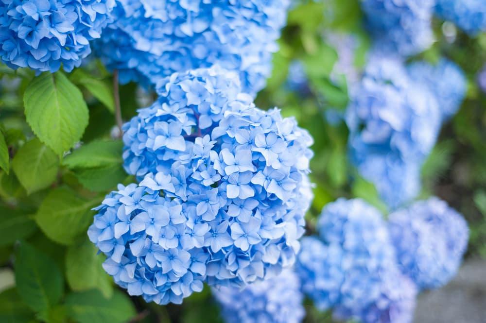 blue hydrangea flowers in summer