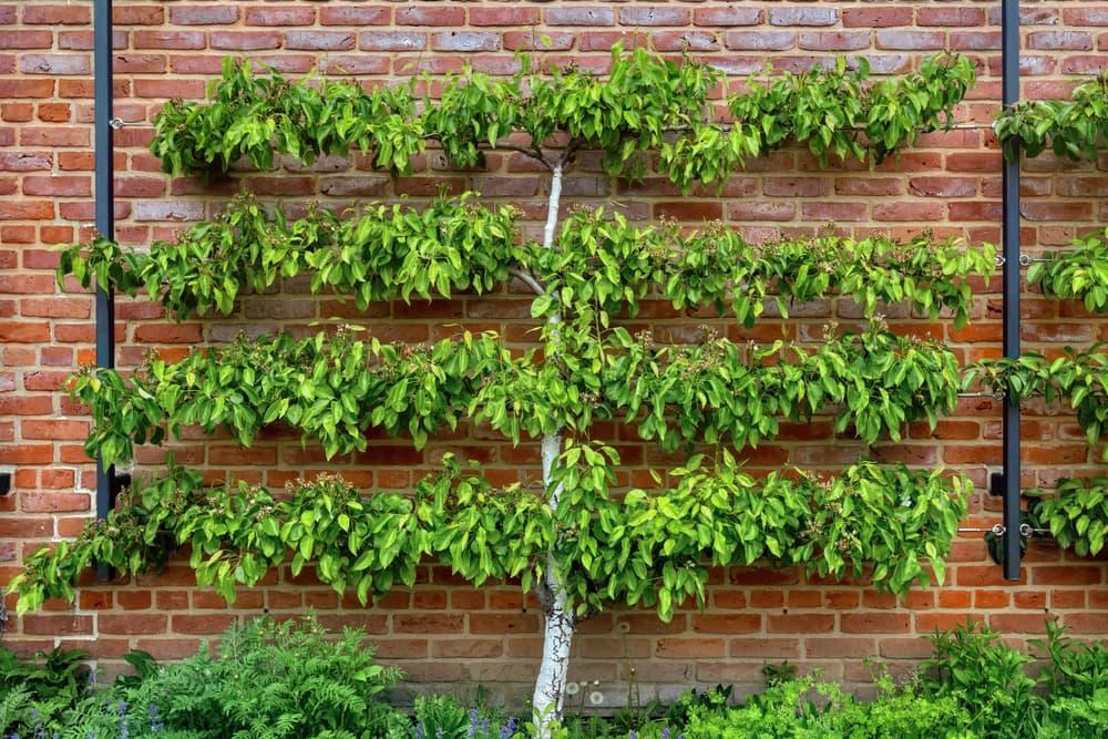 an Espalier apple tree against a brick wall