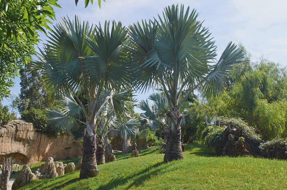 multiple Brahea armata trees with blue sky background