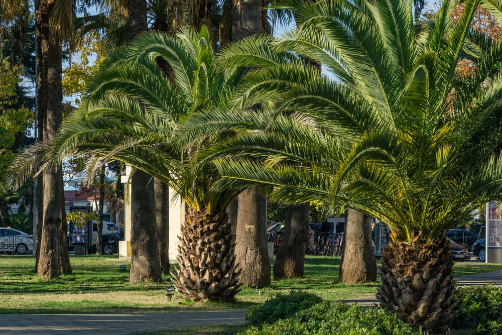 Washingtonia filifera trees in an urban area