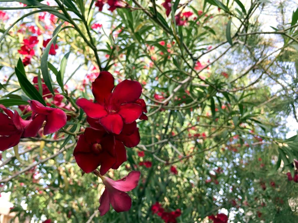 clusters of Blooming Hardy Red oleander