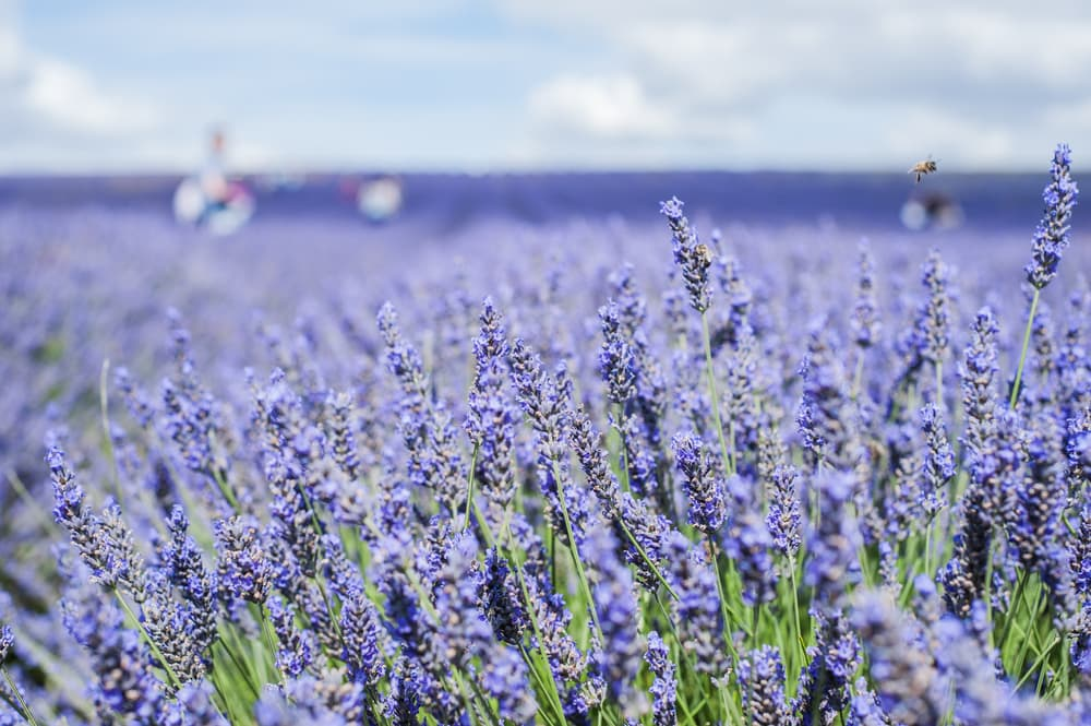 a large purple field of grosso lavender