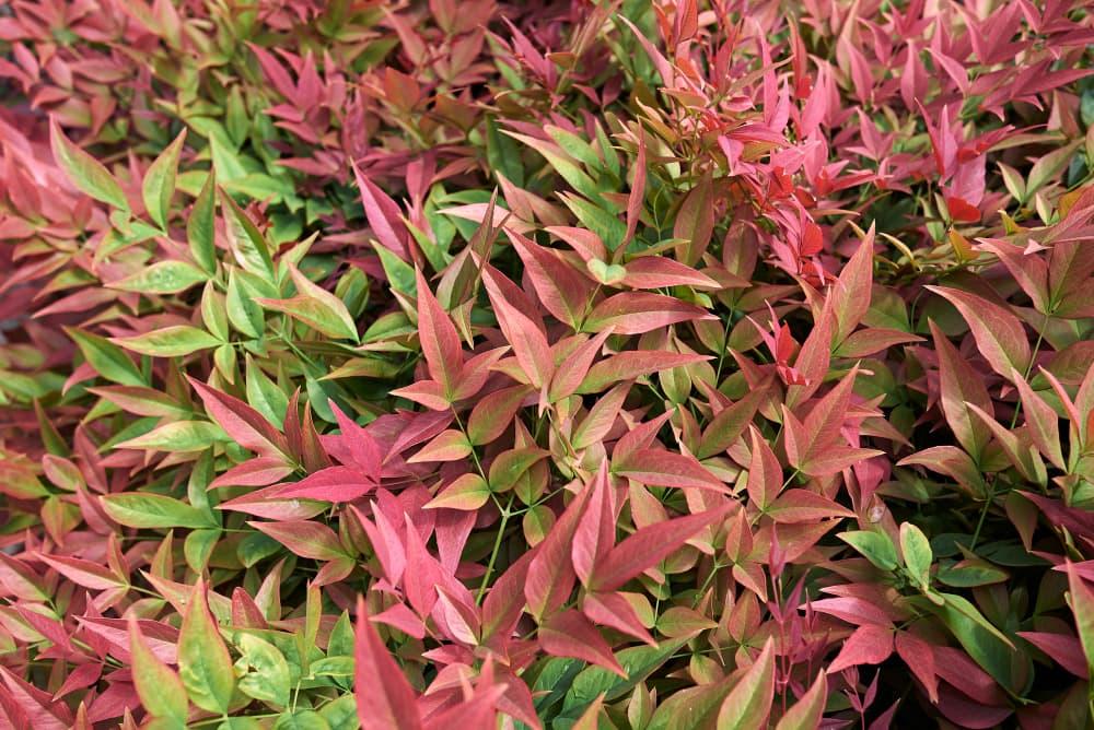 green and red Nandina domestica shrub