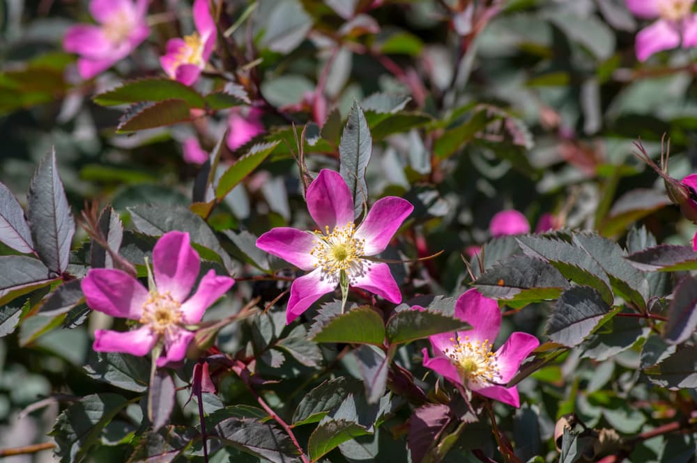 pink rosa glauca flowers with dark foliage