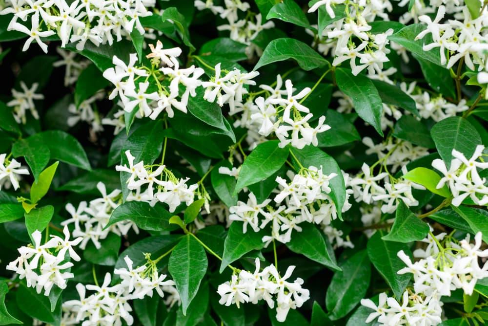 chinese star jasmine blooms