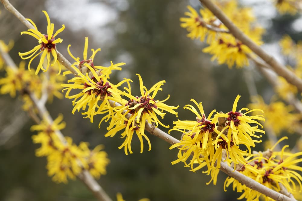 yellow witch hazel blossoms on a branch up close