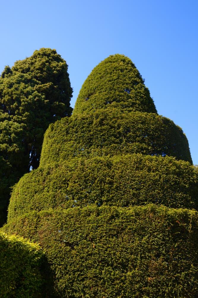 a topiary shrub pruned into geometric shape