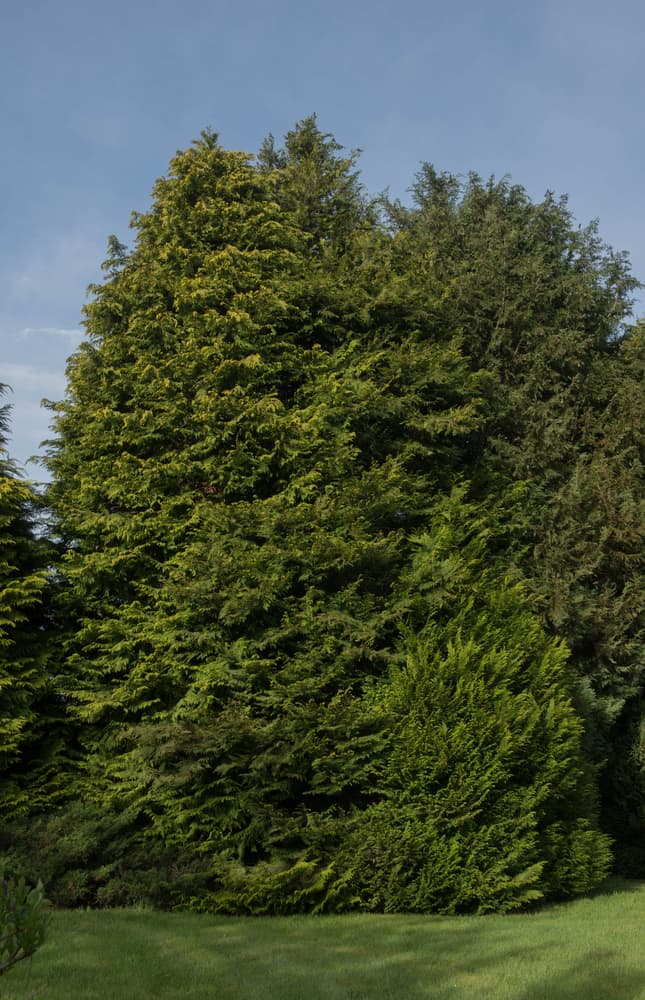 a huge leyland cypress tree