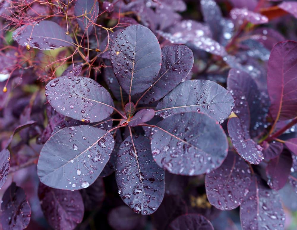 Cotinus coggygria Royal purple leaves