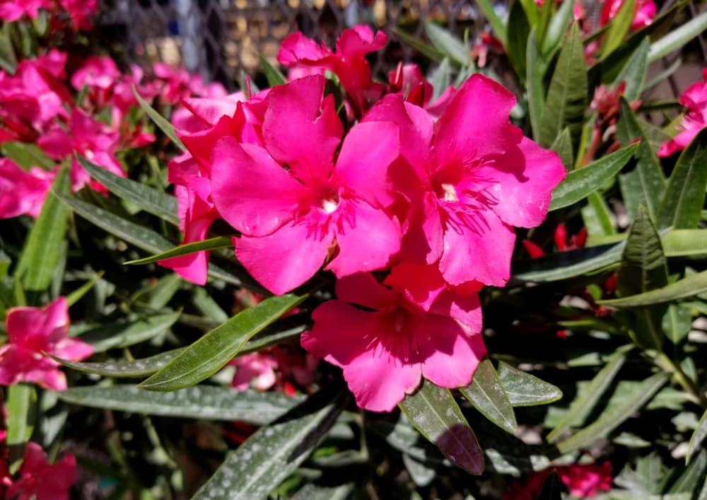 Calypso Oleander flowers blooming in the Spring