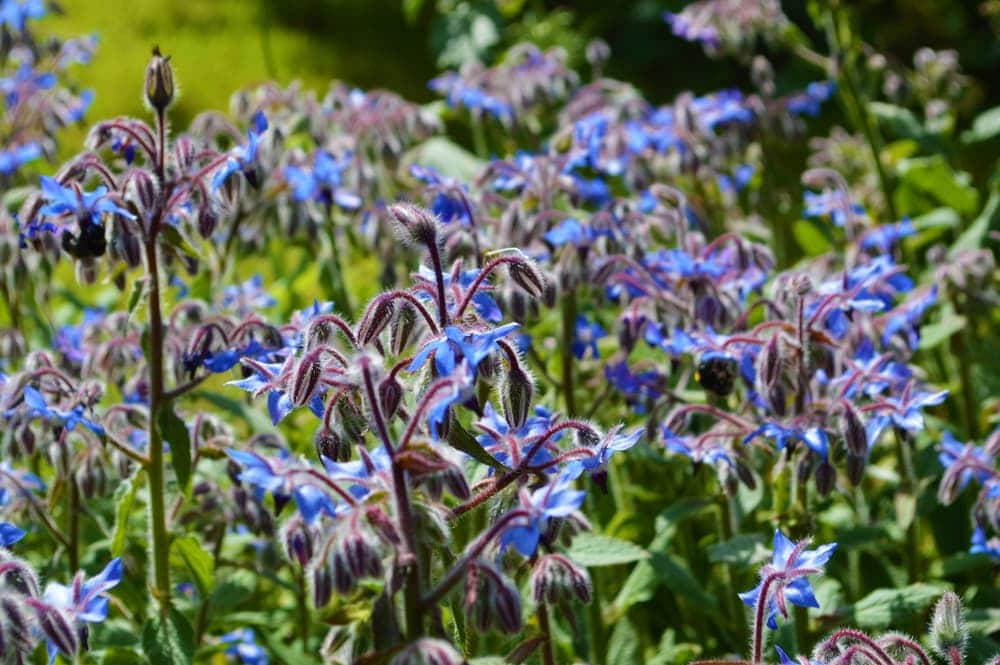 colourful borage flowers in the summer sun