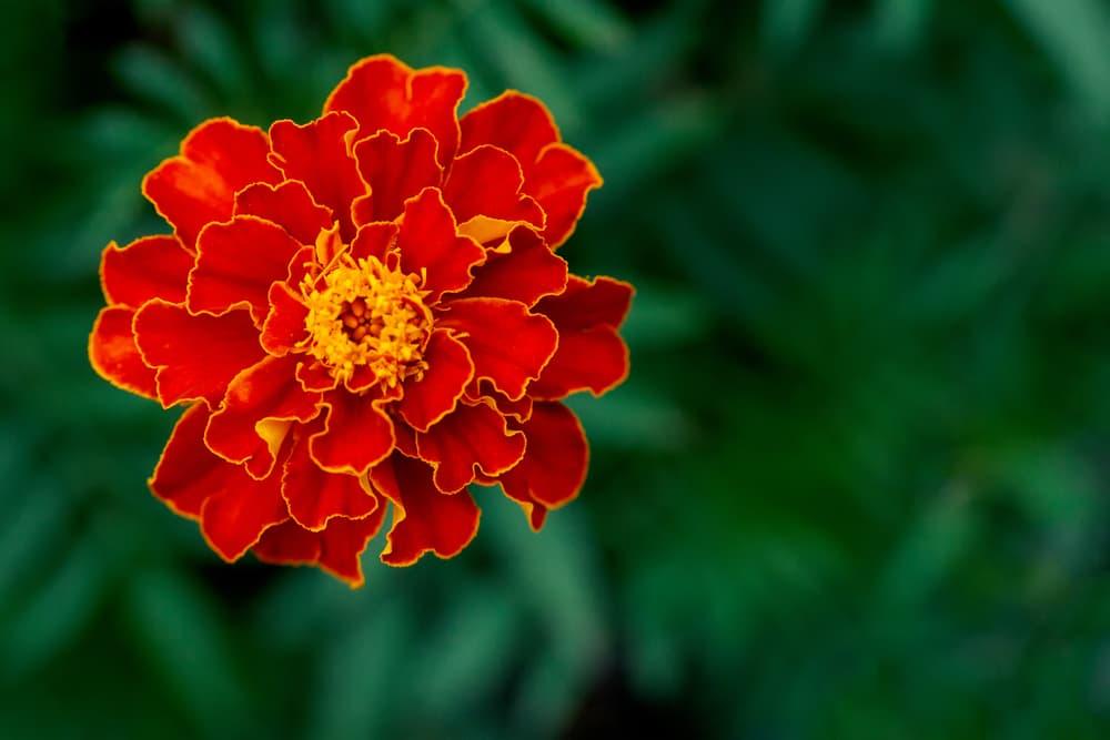 single red Tagetes erecta flower