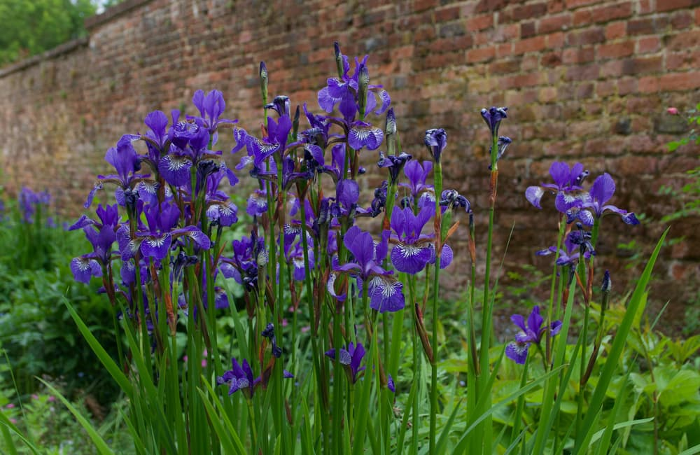 violet Iris Germanica with an old brick wall in the background