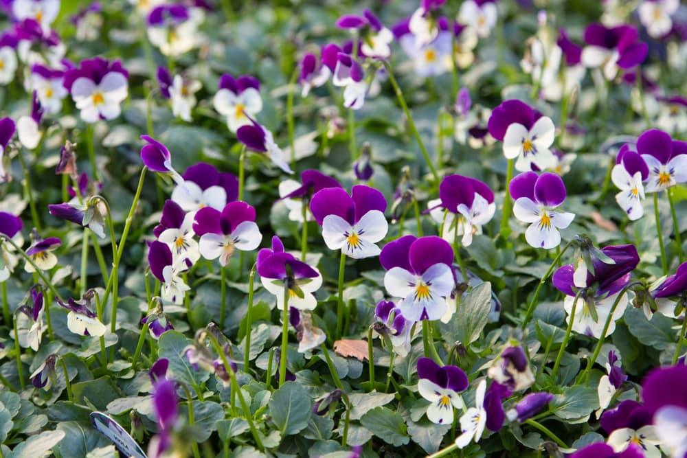 violas in purple and white