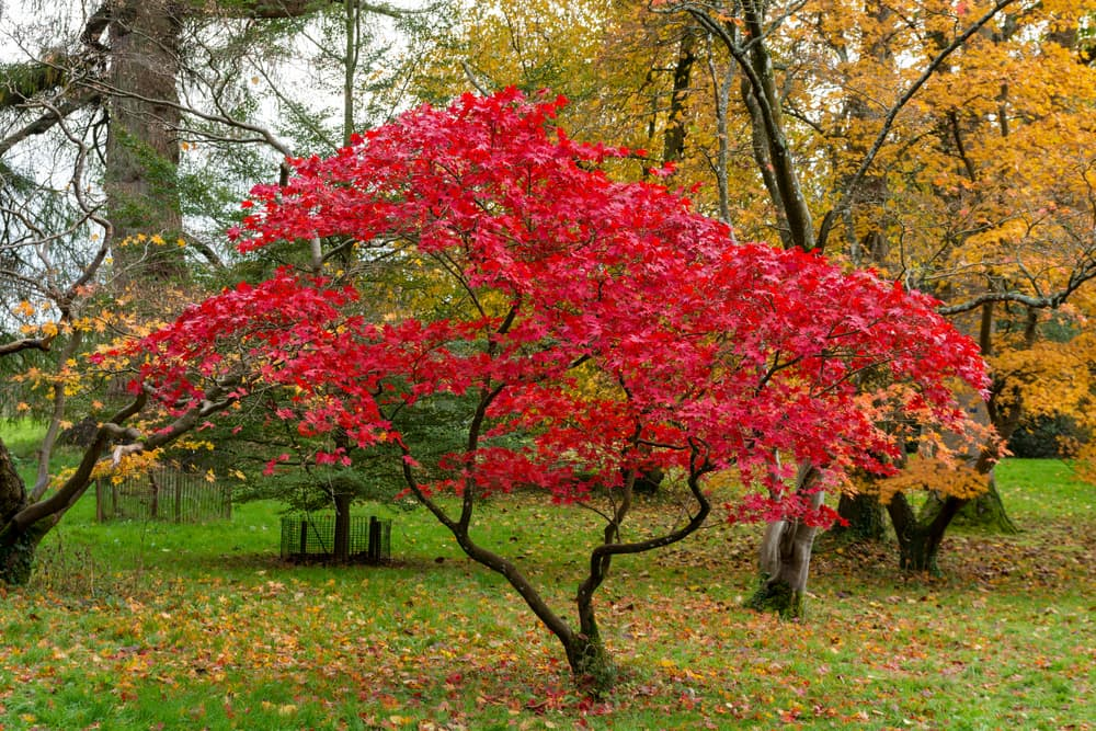 a Japanese maple tree with deep crimson leaves