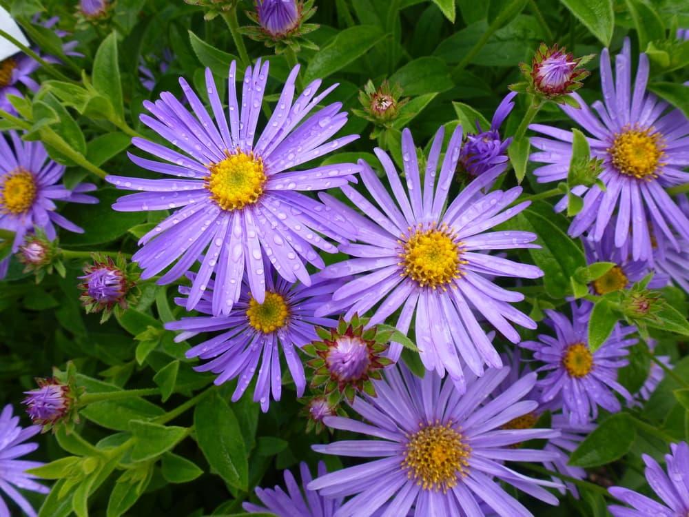 purple flowers of Aster × frikartii 'Mönch'