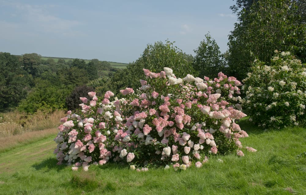 a large Panicled Hydrangea Shrub in summer with hills in the background