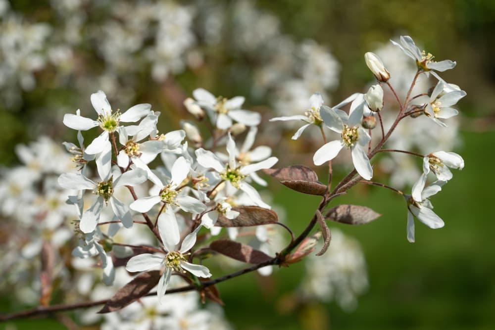 white Amelanchier lamarckii flowers