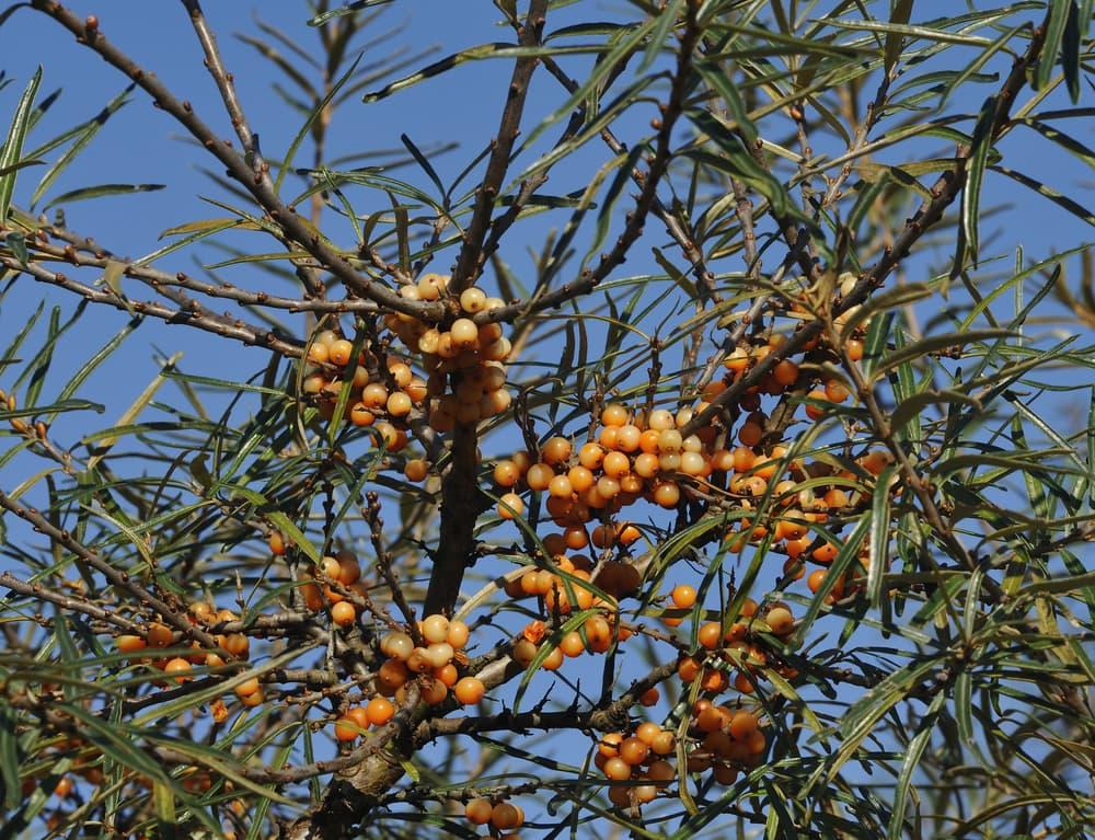 orange berries of sea buckthorn up close