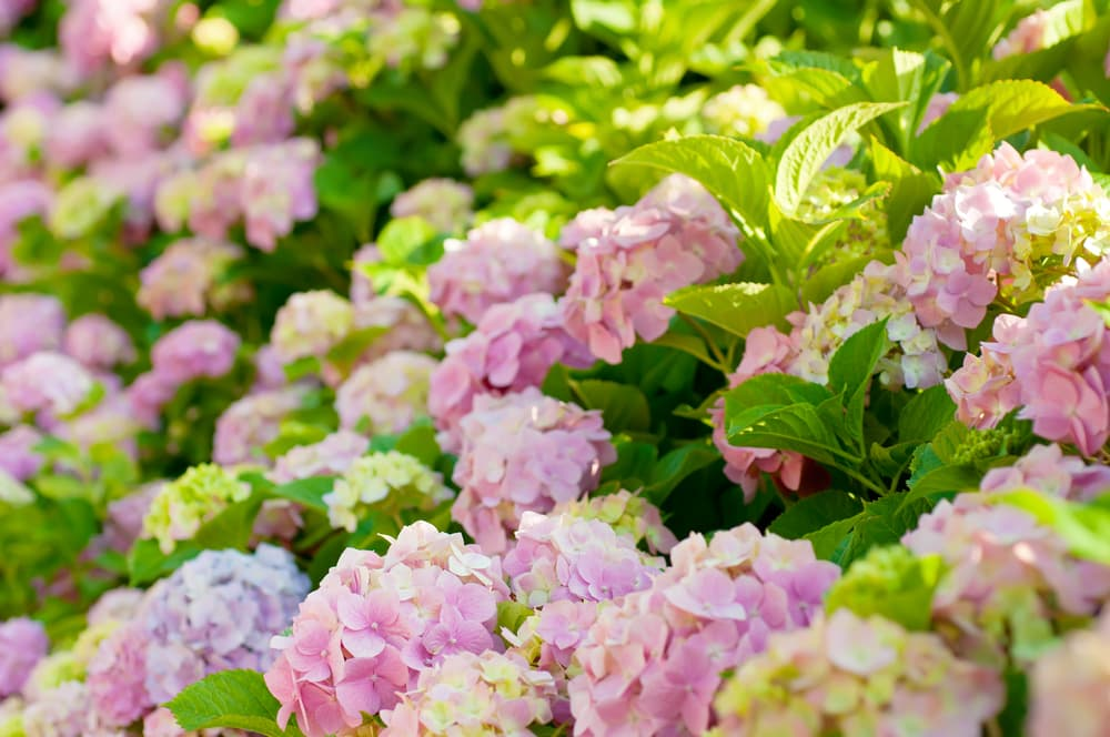flowering pink hydrangea with green foliage