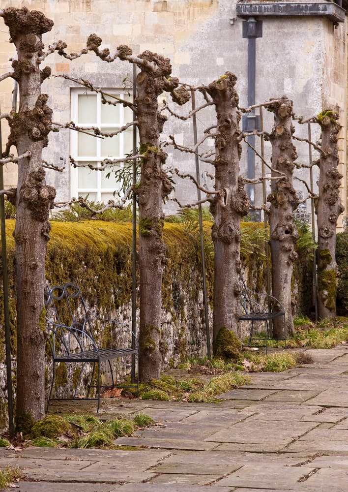 pleached trees in a row with a moss-covered wall in the background