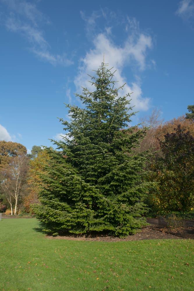 a Nordmann Fir Tree in autumn