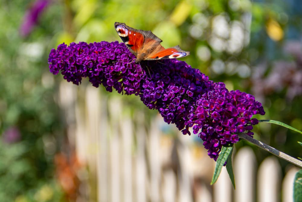peacock butterfly feeding on  Buddleja davidii