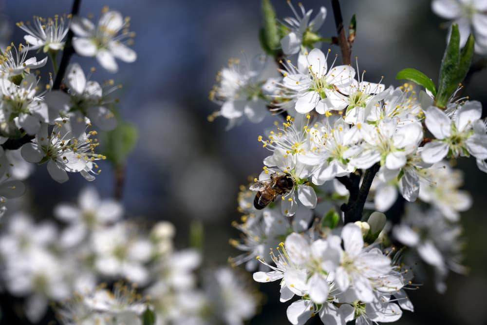 white damson flower blossoms in spring