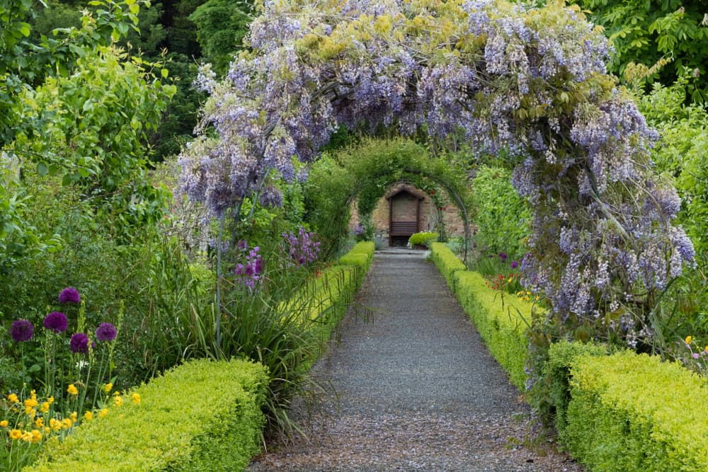 a wisteria arch on a garden pathway with hedging either side