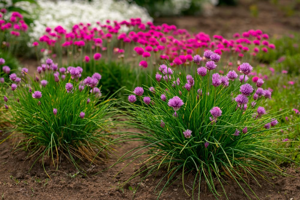 small pink and purple armeria flowers in focus