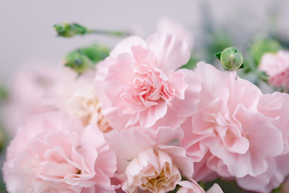 light pink carnation flowers with new buds in the background