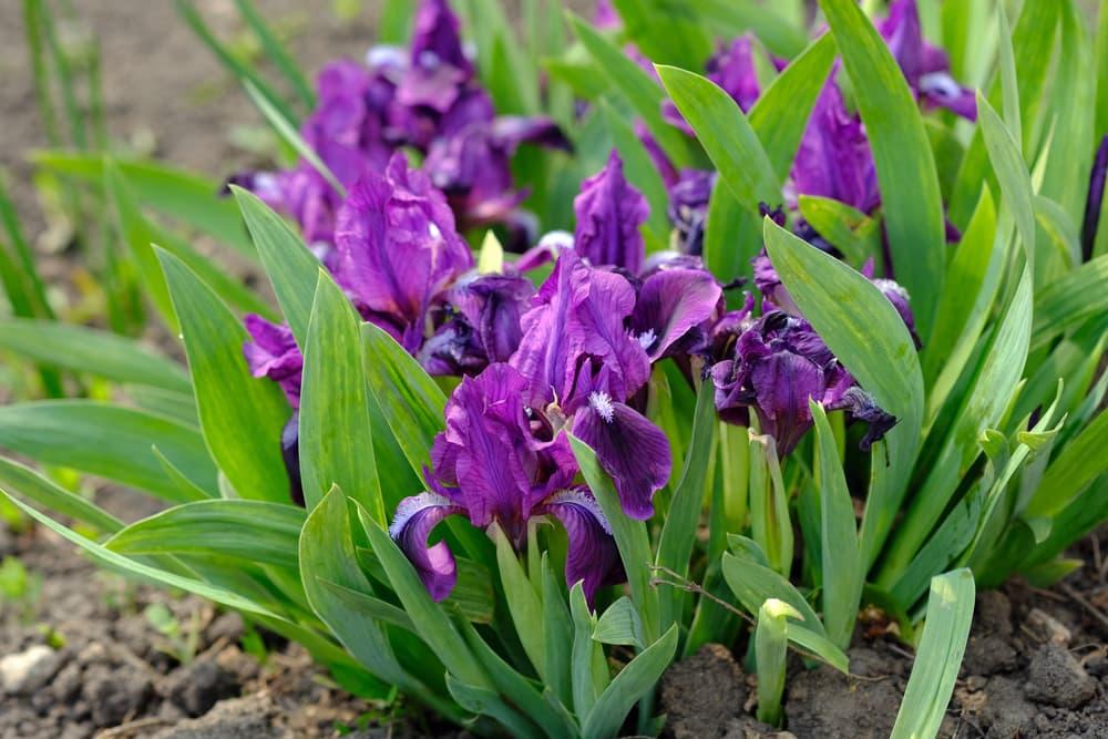 Miniature Dwarf Bearded Irises