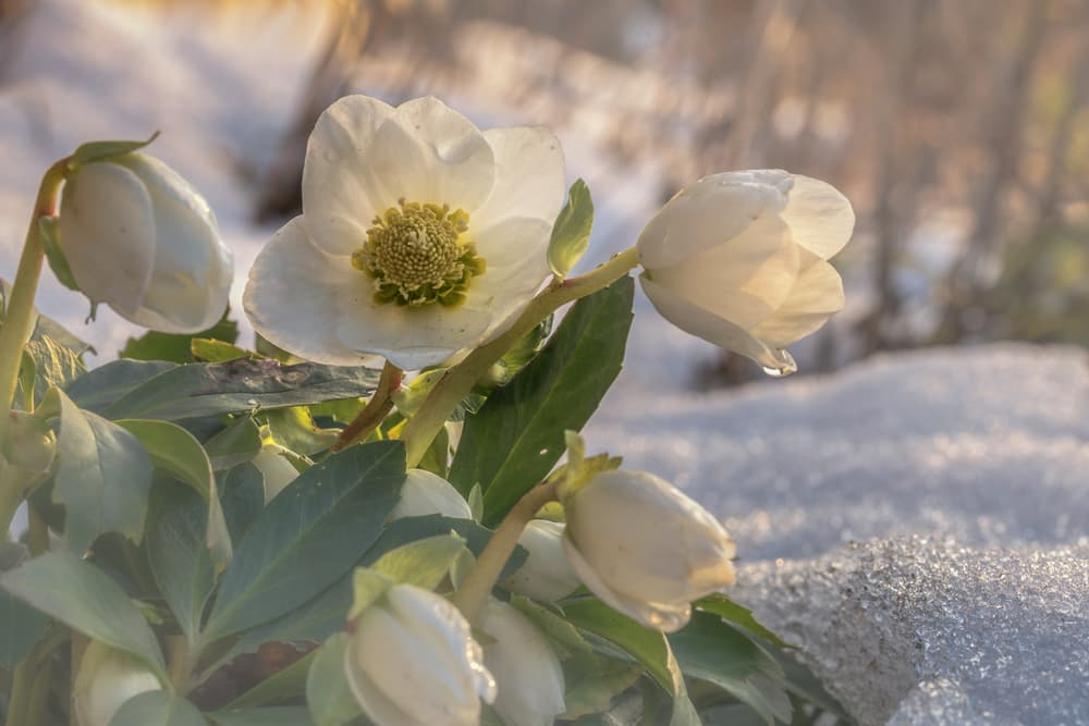 white Christmas rose Helleborus niger flowers with snow in the background