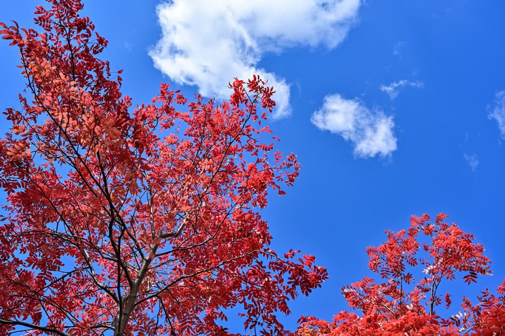 red leaves of japanese rowan against a cloudy blue sky