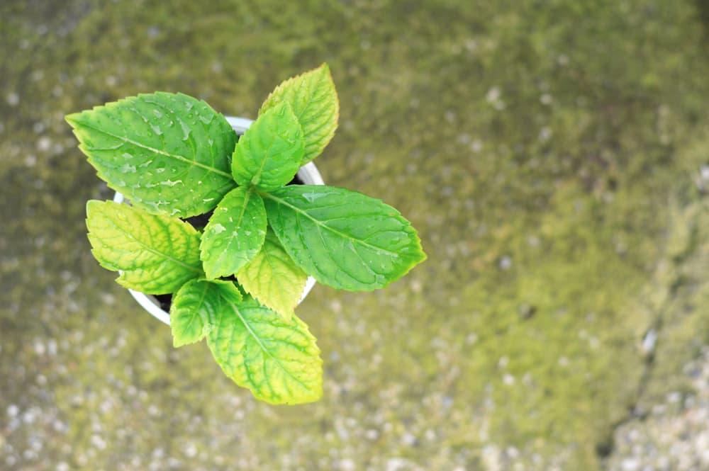 Propagating Hydrangea cuttings in a white pot