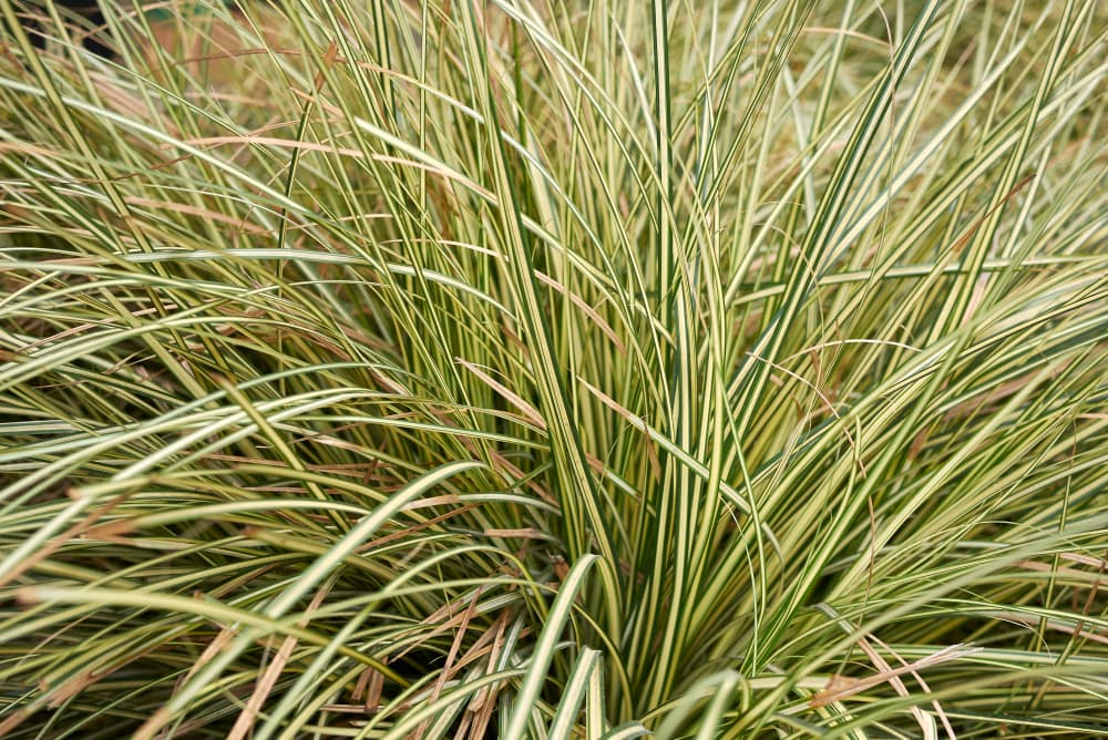 clump of carex grass