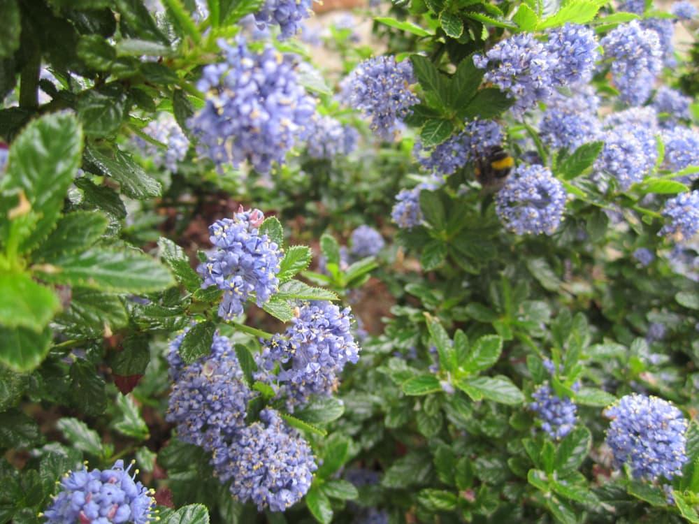 clusters of beautiful blue Ceanothus flowers