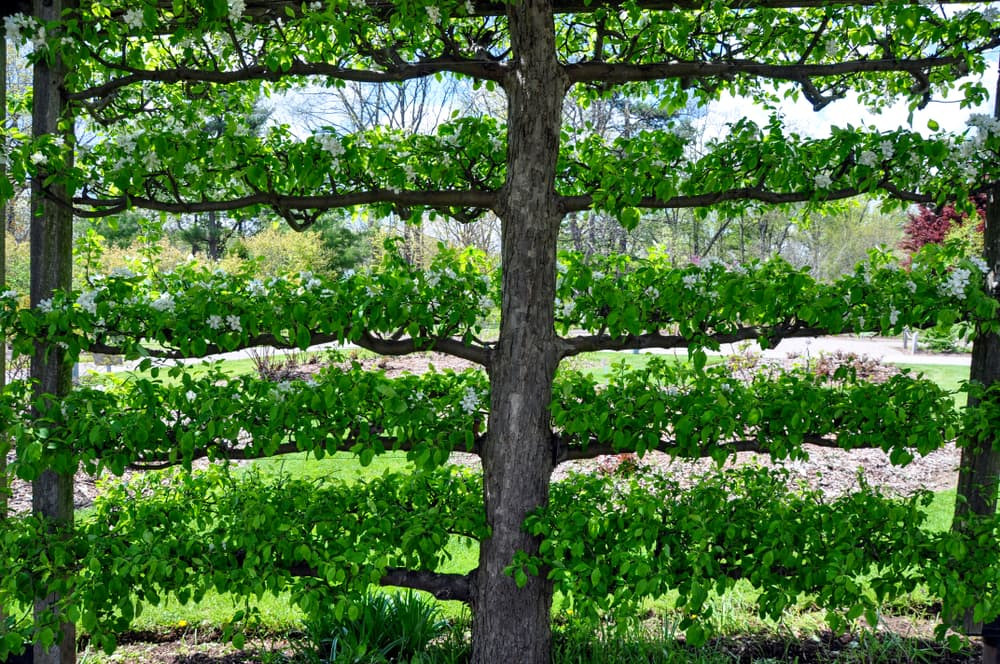 crabapple tree used as a partition screen