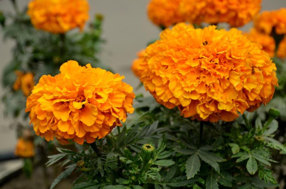 Golden marigolds in bloom