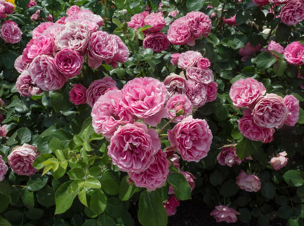 pink rose shrubs