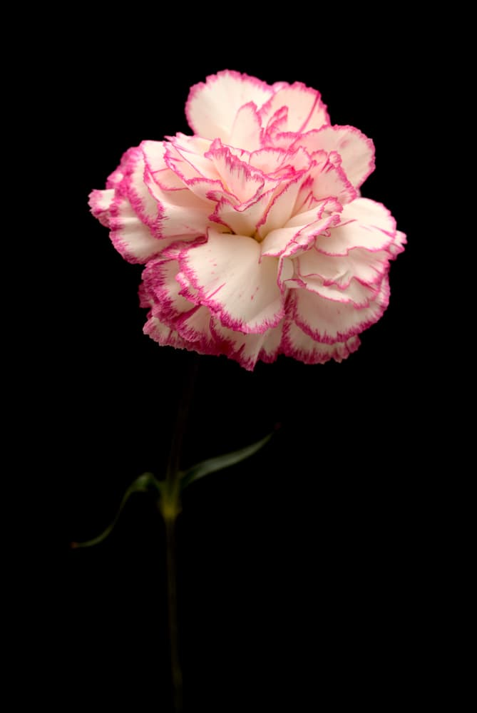 pink and white carnation flower isolated on a black background