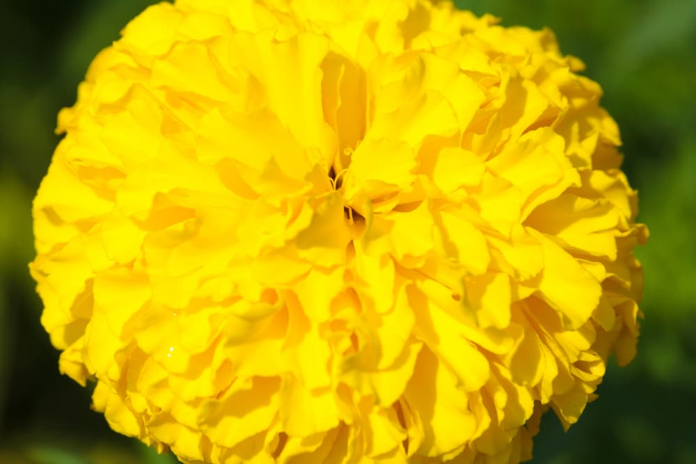 a large round yellow Marigold flower in focus