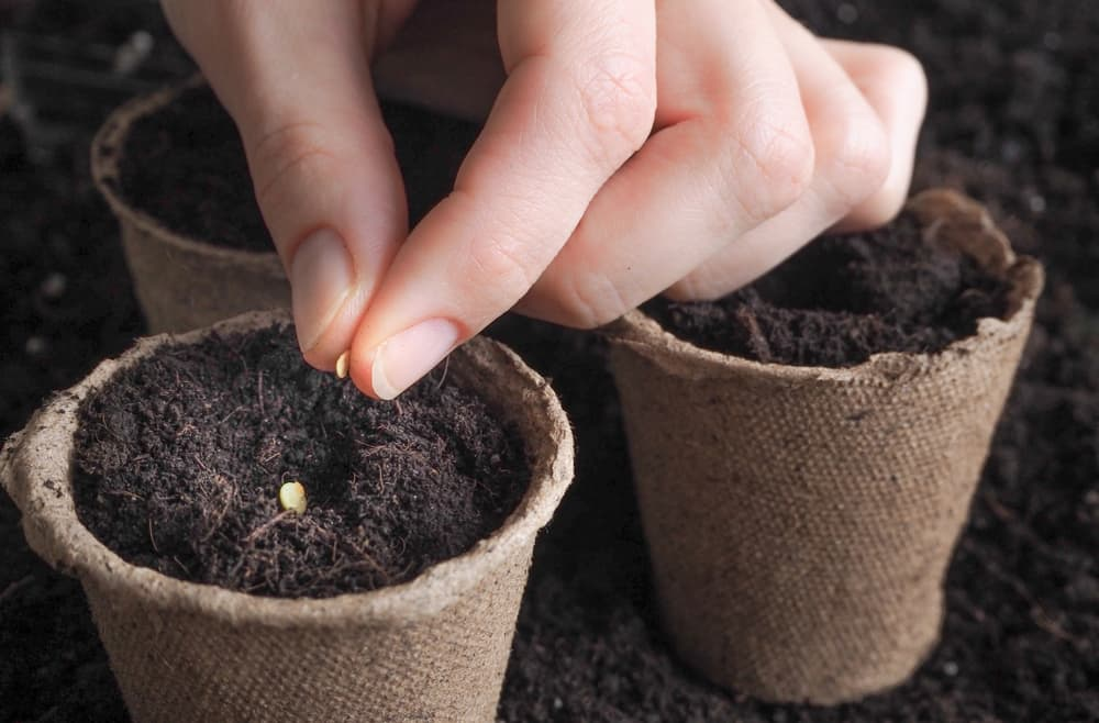 seeds being planted into compostable pots