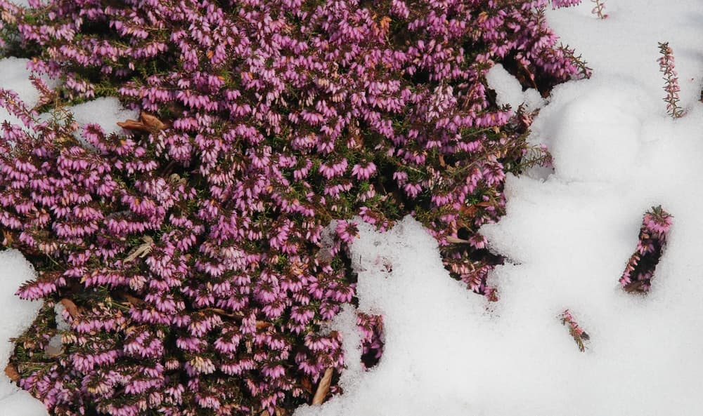 pink heather blooming in snowy conditions