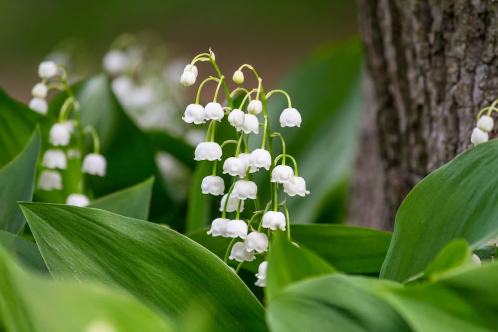 white lily of the valley flowers blooming in a forest