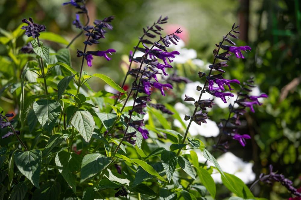 upright purple blooms of salvia amistad