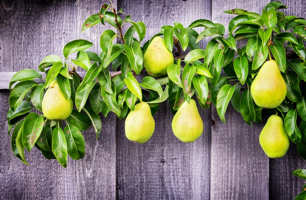 espaliered pear branch with fence in background and fruits hanging alongside foliage