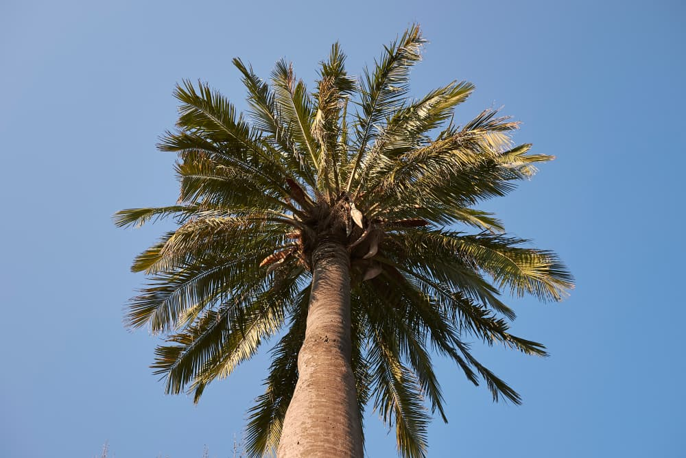 Jubaea chilensis palm against a blue sky background